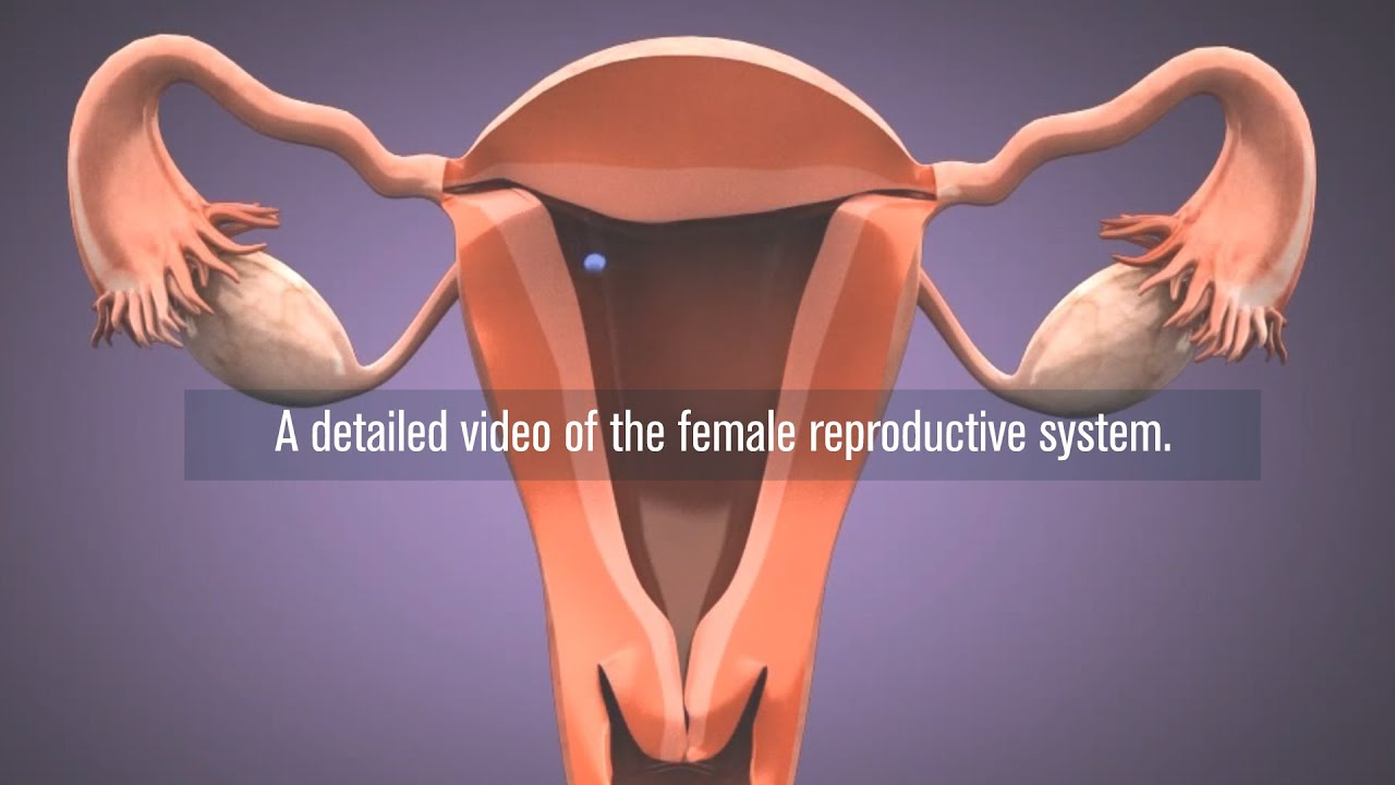 Medical Female Reproductive System In 3d Youtube