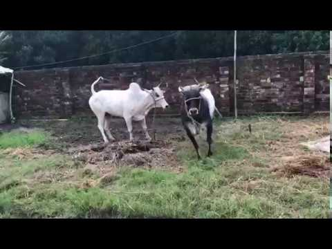 Qurbani Cow Attack Very Angry Cow near Wh...