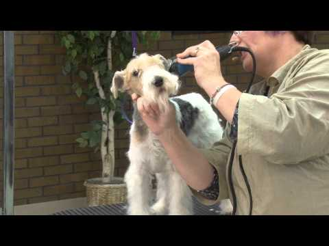 Grooming the Pet Wire Fox Terrier with Lisa Leady