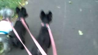 Scottish Terrier & miniature Schnauzer     (   A Walk )
