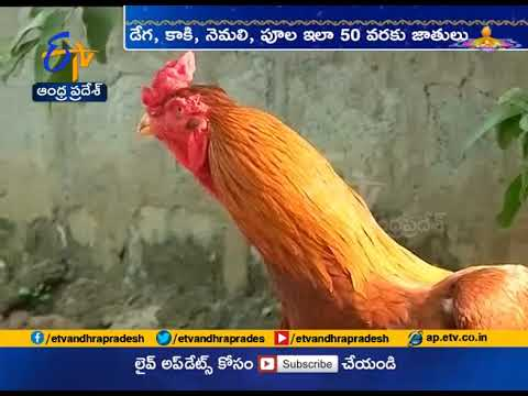 Rooster Fights | You Need Know History About This Event | ETV Special
