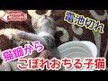 猫鍋からこぼれおちる子猫。電池切れの寝オチです。