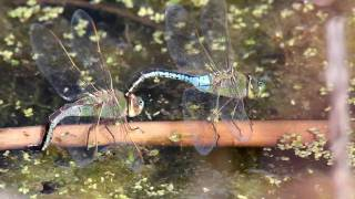 Green Darner Dragonflies Laying Eggs