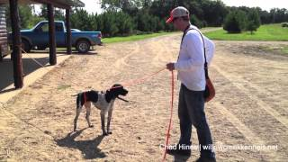 Hunting Dog Training - Developing Steady To Release - Step 1