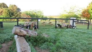 Haute Goat farm - cute goats at feeding time