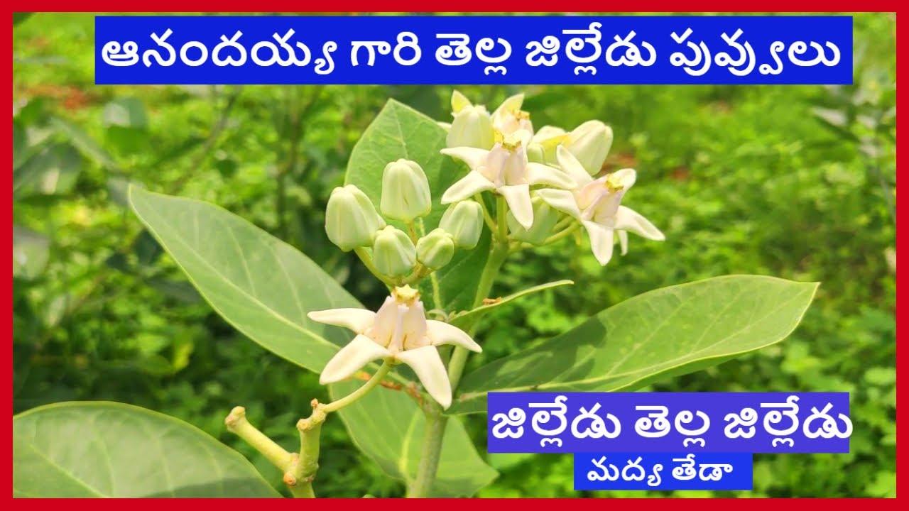 జిల్లేడు తెల్ల జిల్లేడు మద్య తేడా గుర్తు పట్టి తెచ్చుకోండి    tella jilledu flower uses in telugu