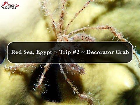 Y-kiki Trip Videos   Decorator crab