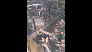 Птица-носорог Гонконг
