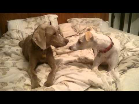 Pippin The Whippet vs Rufus The Weimaraner