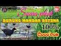Suara Pikat Burung Mandar Betina  Mp3 - Mp4 Download