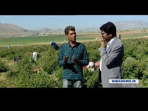 Iran Organic Rose flowers harvest, Tehran province برداشت گل ارگانيك استان تهران ايران