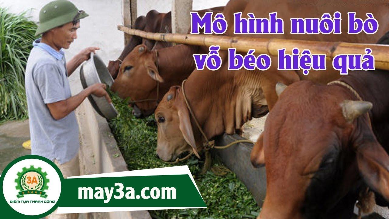 Cách nuôi bò vỗ béo – Kỹ thuật nuôi bò vỗ béo