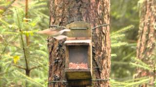 2 Very Funny Red Squirrels at Forestry Commission The Lodge Scotland on 28th August 2014