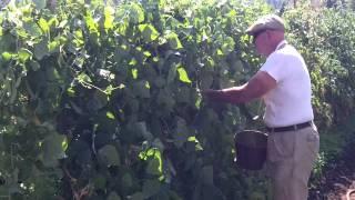 Dad Picking Kentucky Wonder String Beans 9/5/12