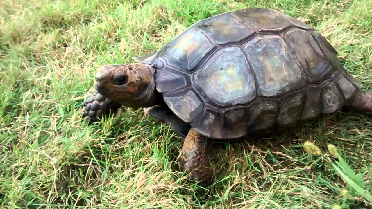 Tortoise, burmese black mountain