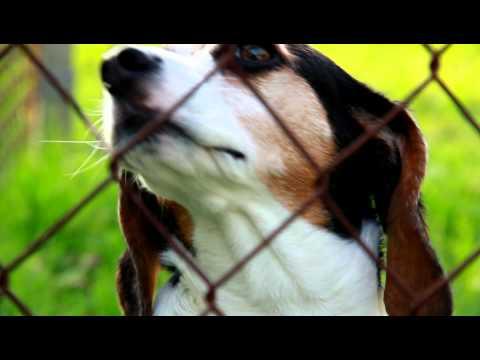 Beagle - Dog