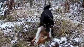 Щенок Русско Европейской Лайки и Лис.(Мой Джек. Щенку 5,5 мес., Русско - Европейская Лайка, (РЕЛ), (RLE) задавил раненого лиса на охоте. Первая добыча )), 2015-11-24T15:59:38.000Z)