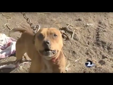 Dangerous Dogs - Pit Bull laws, Victoria, Australia. - YouTube