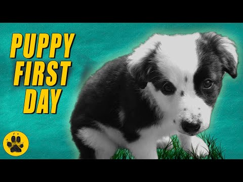 Bringing Border Collie Puppy Home