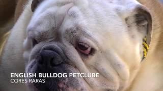Comprar Filhotes Bulldog Inglês Cores Raras Tricolor Cinza Chocolate