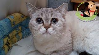 Чем болеют кошки шотландской породы? 5 частых заболеваний