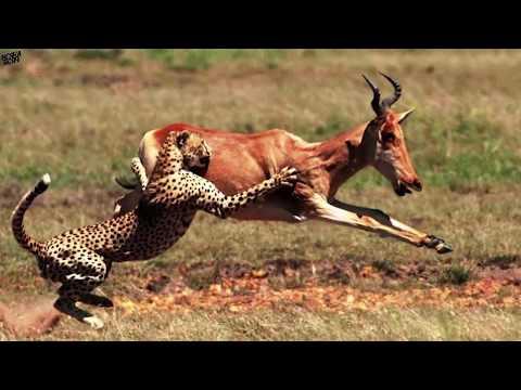 Гепард в деле! Гепард против формулы 1.Гепард атакует страуса, антилопу.Гепард против формулы 1