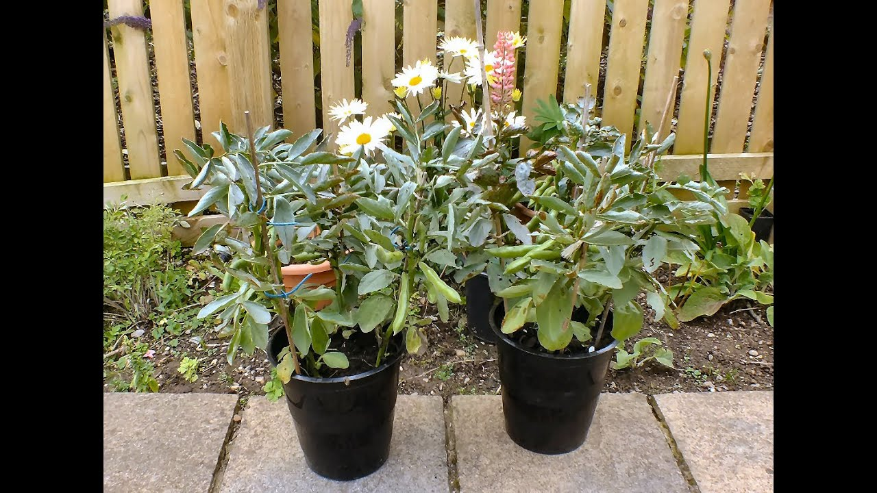 Growing bush beans in containers - How To Grow Organic Dwarf Beans In Pots On A Patio The End Nearly