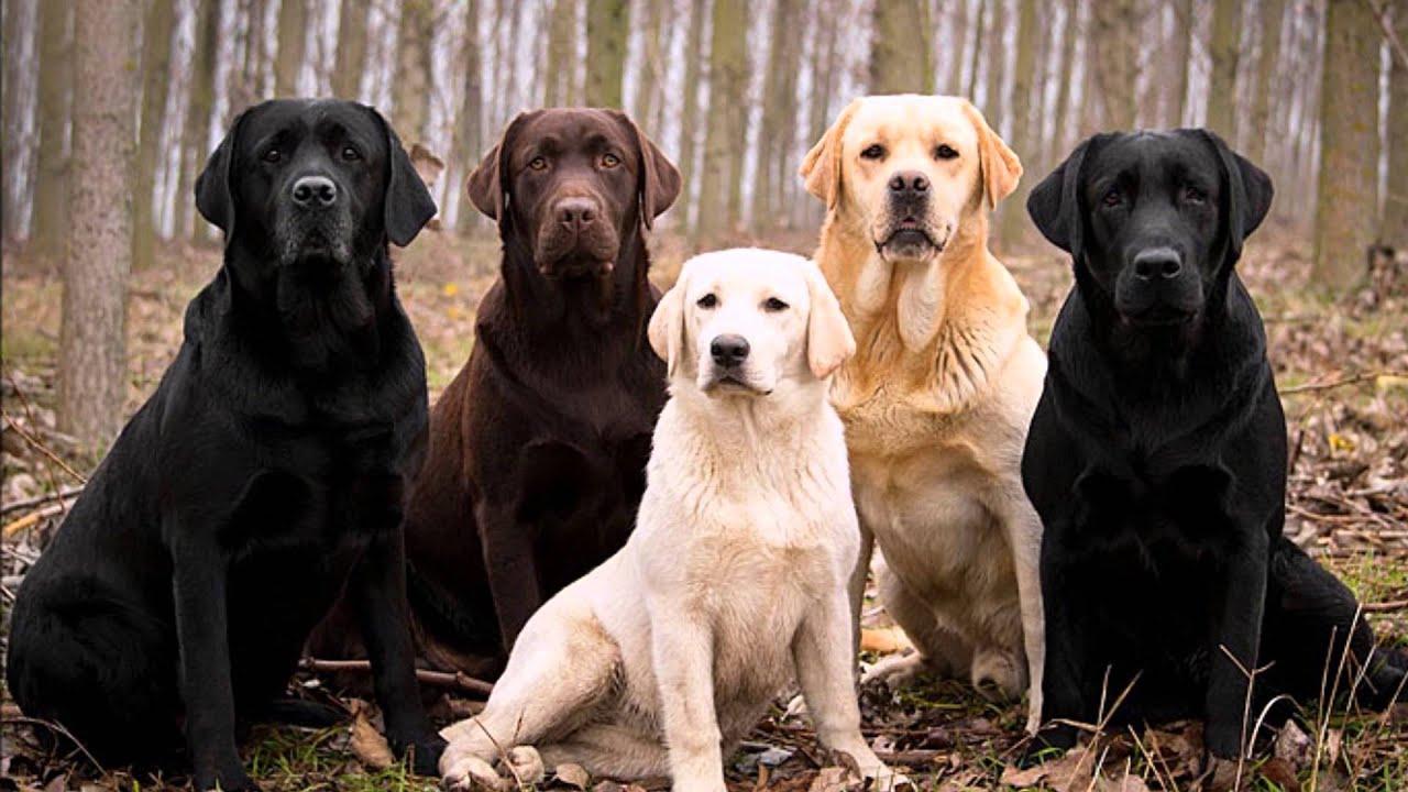 razas de perros LABRADOR RETRIEVER - YouTube
