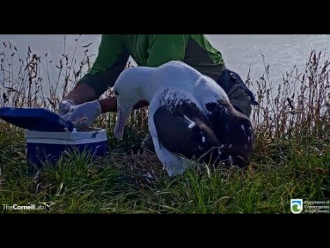 Royal Cam Albatross ~ We Have A HATCH! Welcome To The World ♥ ♥ Chick Returned To Nest 1.31.20