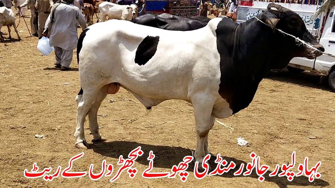 Bhawalpur Janwer Mandi Chotay Bachron Kay Rate Latest Video   SS Tv  