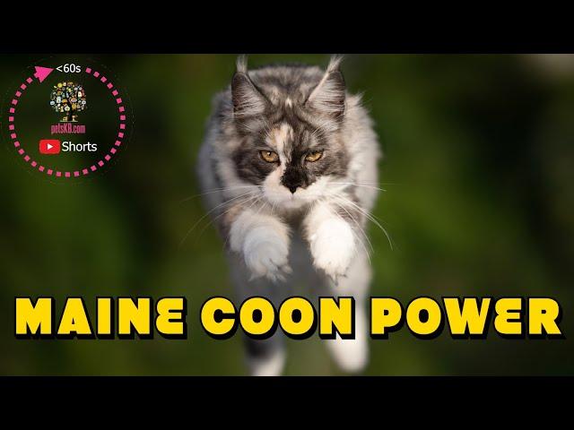 Maine Coon Jump Drama #Shorts