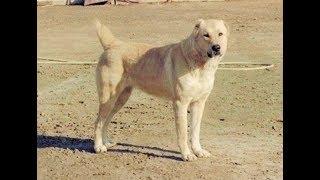 Как выглядят породы собак ( ГУРДБАСАР  АЗЕРБАЙДЖАНСКИЙ ВОЛКОДАВ)