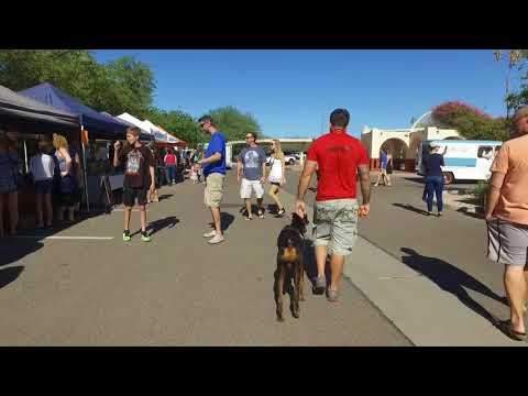 Tank aggressive 7 mo Doberman Best Arizona Dog Trainers
