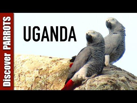 Wild Parrots of Uganda   Discover PARROTS