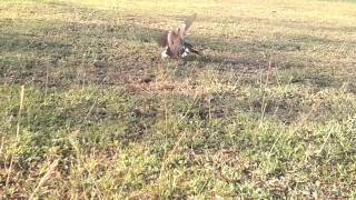 Pikat burung terkukur.. the best fight
