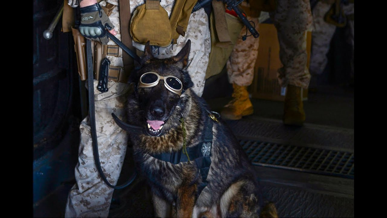 What Happens To A War Dog If His Handler Is Killed Youtube