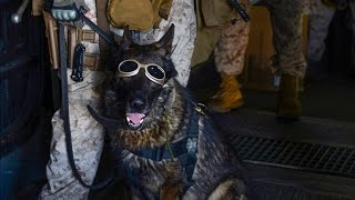 What happens to a war dog if his handler is killed?