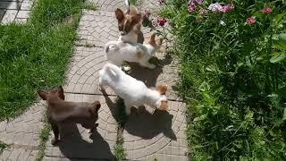 Купить щенка чихуахуа. РКФ. 89055466692