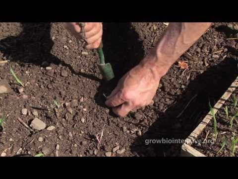 Session 4: GROW BIOINTENSIVE: A Beginner's Guide -- Transplanting