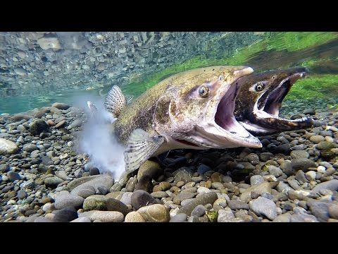 Chinook Salmon Spawning Act3 May 2016