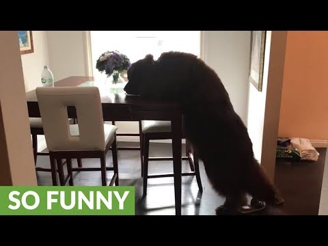Newfoundland seeks out snack left on table