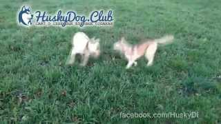 Fight Little Husky Vs Labrador Retriever