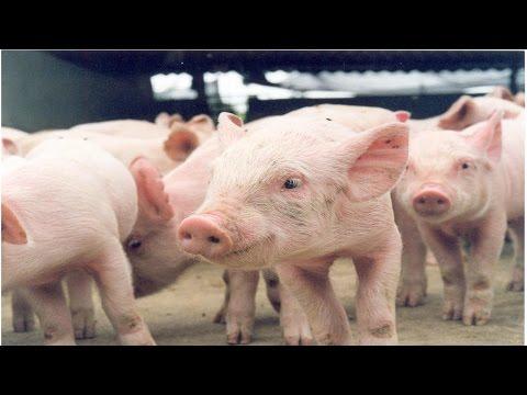 Clique e veja o vídeo Curso Sistema Orgânico de Criação de Suínos - Escolha e Aquisição de Animais