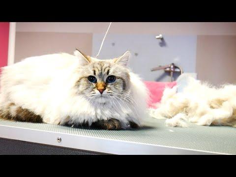 First Cat Grooming! Neva Masquarade