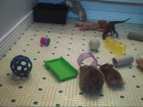 Hedgehog Hamster And Rats Playing Together Youtube