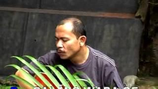 Pascal Baut: Copel Mose- Ruteng manggarai