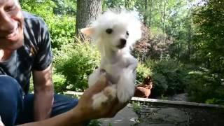 MythicKingdom Benji true hairless Crested super micro boy 7 11 16 at 15weeks part 2/2