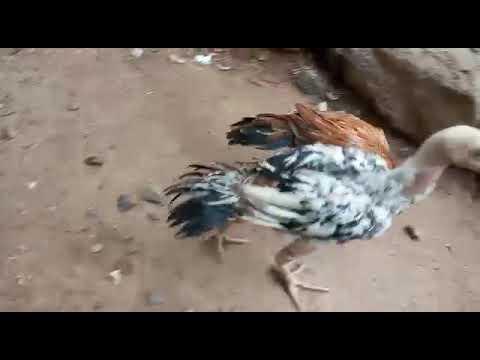 Full Download] Parrot Beak Long Tail Aseel Chiks For Sale Co