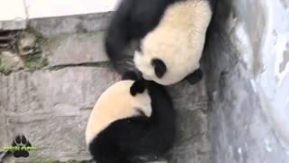 #001 Панды, Смешные животные, Приколы, Веселое видео, Funny Animals