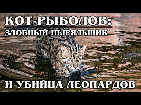 ВИВЕРРОВЫЙ КОТ (КОТ-РЫБОЛОВ): ХИЩНЫЙ ныряльщик и настоящий рыболов   Интересные Факты про кошек